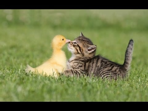 A baby duck and kitten frolicking.